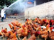 Bird flu temporarily controlled