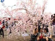 Japanese cherry blossom festival opens in Ha Long