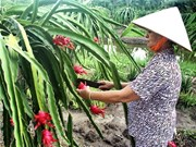 Southern regions hope fruit can bring sweet success