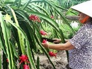 Dragon fruits to enter New Zealand market