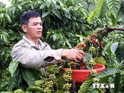 Half-year coffee export reaches 1.04 million tonnes