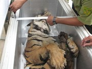 Vietnam faces pressing need for saving wild tigers