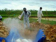 Long An destroys nearly 1,000 H5N1 infected poultry