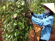 Pepper exports expected to reach 1.3 billion USD