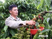 Dong Nai's coffee exports fetch over 420 mln USD
