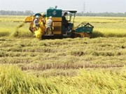 Mekong Delta: exports of high quality rice soar