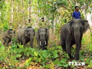 74 billion VND for protecting wild elephants in Dong Nai