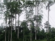Rare old trees in Ha Giang get heritage title