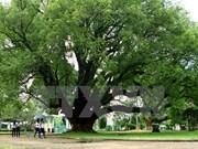 Dak Lak: camphor trees receive national heritage status