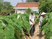 Village farmers embrace new cash crop