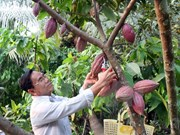 Vietnam's cocoa development needs to be re-oriented