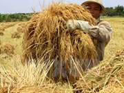 Mekong Delta rice output to reach 25.2 million tonnes