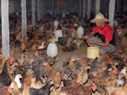 Oman lifts ban on Vietnam poultry imports