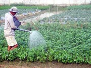 Vinh Long farmers expect bumper vegetables Tet crop