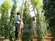 Dong Nai enjoys strong and profitable pepper crop yield