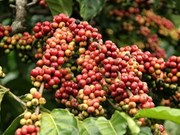 Science-technology fuels Vietnamese coffee's growth