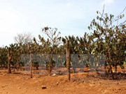 Lam Dong: Drought damages 60,000 hectares of coffee