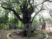 Thanh Hoa: ancient trees receive national heritage status