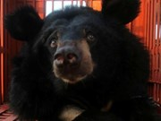 Quang Ninh: two captive bears moved to rescue centre