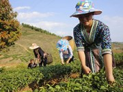 New tea production model aids ethnic minorities