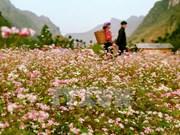 Ha Giang province to host buckwheat flower festival