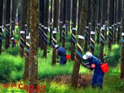 Natural rubber export prices pick up from May