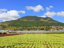 Highland Da Lat dyed yellow in wild sunflower season