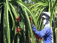 Australia to import Vietnamese dragon fruits