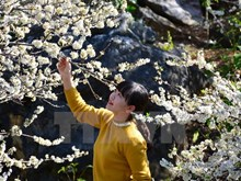 Plum flowers blossom all over Northwest region