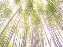 Cao Bang boasts film set-like bamboo forests