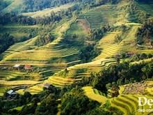 Terraced rice fields in Hoang Su Phi in ripe season