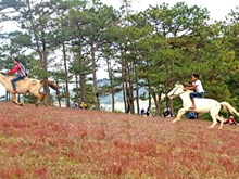 Spectacular horse racing without saddles on Da Lat's pink grass hill