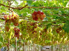 Ninh Thuan's vineyards attract tourists