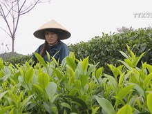Vietnam is fifth biggest tea exporter worldwide