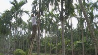 Areca trees improve livelihoods in Nam Dinh's commune