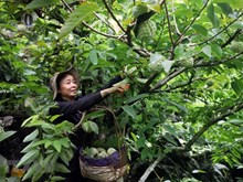 Bumper custard apple season on rocky mountains of Lang Son