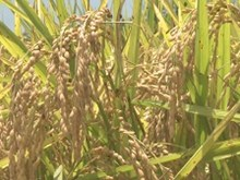Rice production drops slightly in summer-autumn crop