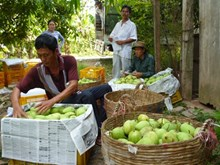 Dong Thap deploys protective measures for major fruit crops