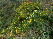 Wild sunflowers in full bloom in mountainous province