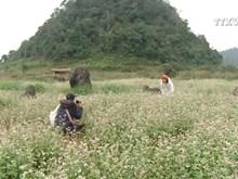 Pristine buckwheat flowers impress visitors