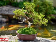 Mini bonsai trees show artisan's creativeness
