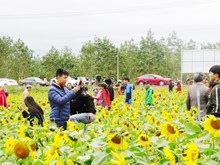 Sunflower field lures tourists to Quang Binh