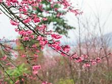 Cherry blossom festival returns to Dien Bien