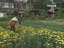 Da Nang flower villages gear up for Tet