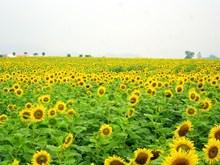 Brilliant field of sunflowers in Saigon
