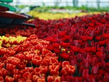 Tulip festival in Nha Trang dazzles visitors