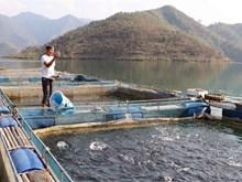 Fish cage farming in Lai Chau proves effective