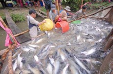 Mekong Delta to boost tra fish production, consumption