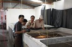 Ca Mau boosts clean breeding shrimp production
