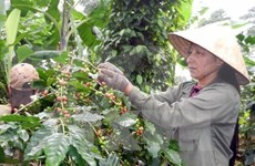 Domestic coffee sector faces foreign pressure in Dong Nai